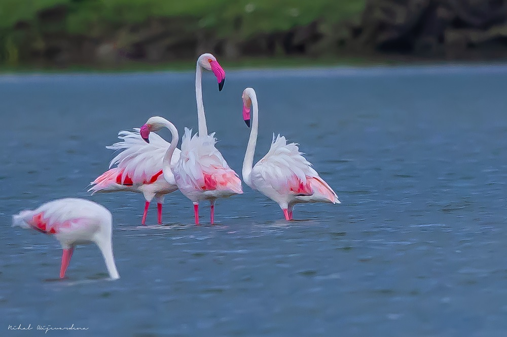 Four flamingos standing in the water