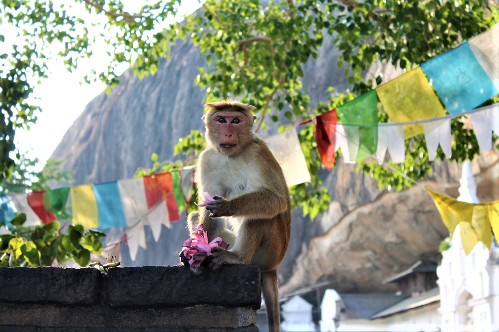 Monkey eating a flower stares at the camera surrounded by Tibetan Buddhist flags