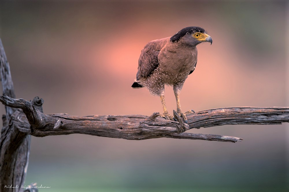 Yellow-eyed eagle on a branch