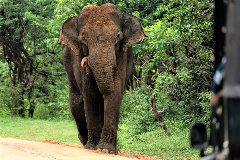 Elephant walking towards the jeep