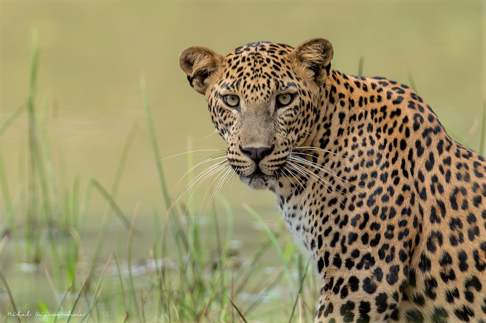 Leopard with green eyes staring at the camera