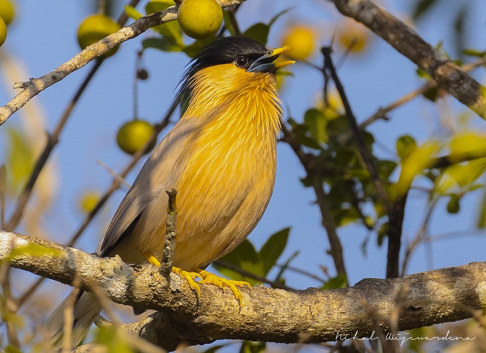 Yellow and black bird posed on a branch